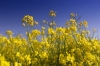 Rape Flowers by Richard Osbourne