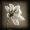 Clematis by Captureworx