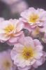 Prunus domestica 'Victoria' by Carol Sharp