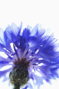 Centaurea cyanus by Jane R. Wood