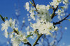 Prunus avium, Cherry - Wild Cherry by Carol Sharp