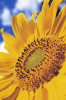 Helianthus annus, Sunflower by Carol Sharp