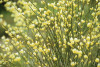 Cytisus, Broom by Carol Sharp