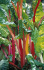Beta vulgaris 'Bright Lights', Swiss chard by Carol Sharp