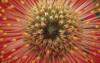 Leucospermum cordifolium, Pincushion by Dave Zubraski