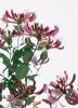 Lonicera periclymenum 'Serotina', Honeysuckle by John Beedle