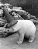 Clyde the polar bear by Mirrorpix