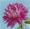Aster, Aster by Lisa Barber