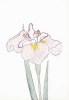 Japanese Irises I - IV, Japanese Iris IV by Modern Editions