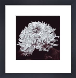Chrysanthemum by Bill Philip