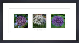 Three Alliums by Bill Philip