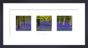 Bluebell Wood by Bill Philip