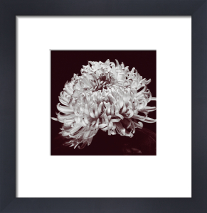 Chrysanthemum (small) by Bill Philip