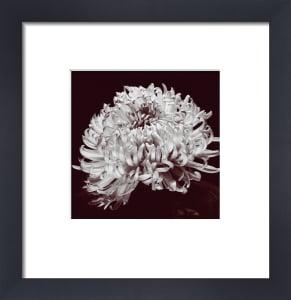 Chrysanthemum (small) by Bill Philip