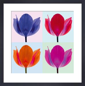 Tulip Quadrant II by Katja Marzahn