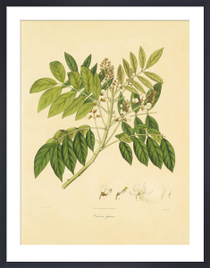 Unpublished East Indian Plants II by Nathaniel Wallich