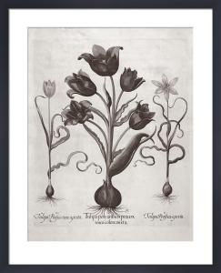 Botanical VII by Basilius Besler