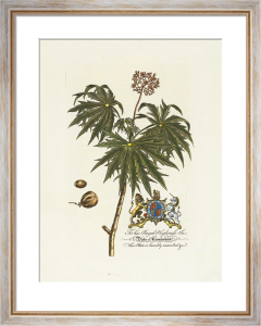 The Duke Of Cumberland Botanical by Georg Dionysus Ehret
