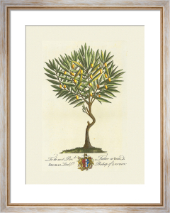 The Lord Bishop Of London Botanical by Georg Dionysus Ehret