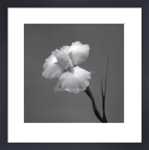 Iris II by Tom Artin