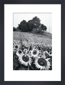 Sunflowers, Provence, France by Martine Franck