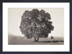 Arbutus Menziesii, California, 1861 by Carleton Watkins