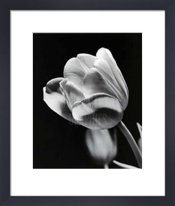 Tulip by Len Prince
