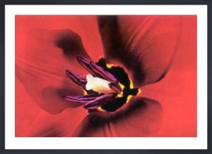 Tulipa by Joson