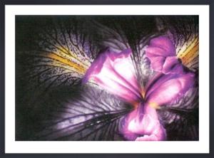 Iris by Joson