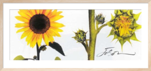 Helianthus by Joson