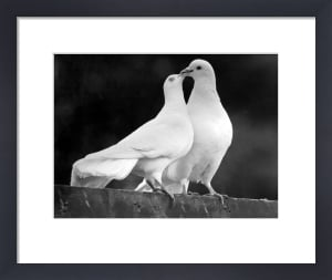 Two white doves by Walter Sittig