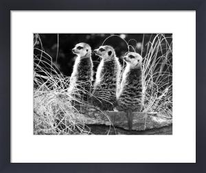 Three meerkats by Walter Sittig