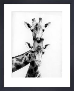 Two curious giraffes by Walter Sittig