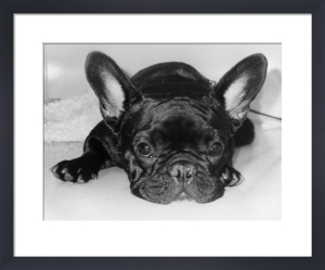 Little dog with big ears by Heinz Krimmer