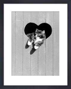 Kitten leaning through a heart-shaped window by Bernd Schellhammer