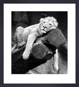 Sleeping lion by Walter Sittig