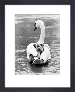 Swan carrying offspring by Manfred Grohe