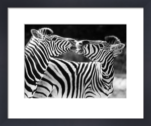 Zebras kissing by Walter Sittig