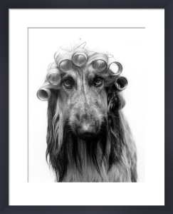 Afghan hound with hair curlers by Regine Will