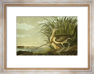 Long Billed Curlew by John James Audubon