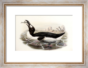 Great Auk. Alca Impennis. From 'The Birds Of Great Britain' by John Gould
