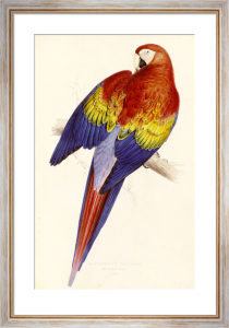Red and Yellow Maccaw by Edward Lear