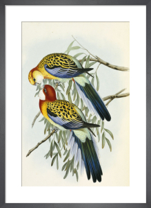 Eastern Rosella from 'The Birds Of Australia', 1840 by John Gould