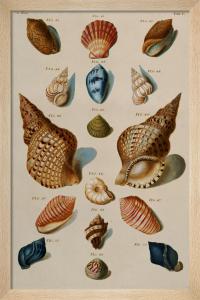 A Selection of Seashells, 1758 by Franz Michael Regenfuss