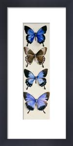 Four Butterflies (Papilo Ulysses) by Marian Ellis Rowan
