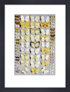 Sixty-Seven Lepidoptera, In Five Columns, Mostly Butterflies by Marian Ellis Rowan