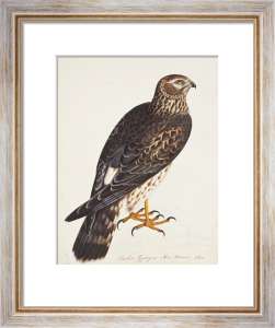 Falco Pygargus, Hen-Harrier by Christopher Atkinson