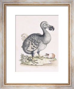 The Dodo by Frederick P. Nodder