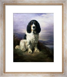 Royal, A Tri-Colour Working Springer Spaniel by Lilian Cheviot