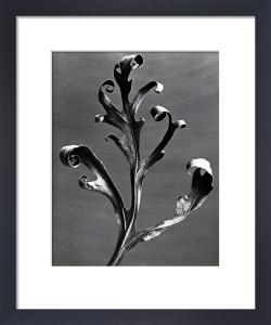Silphium Iaciniatum, Kompassplanze by Karl Blossfeldt